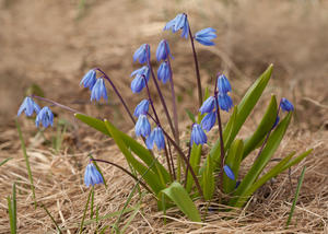 Plant with green leaves and small blue flowers.