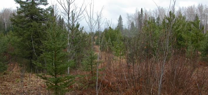 Pine forest regrowth after harvest.