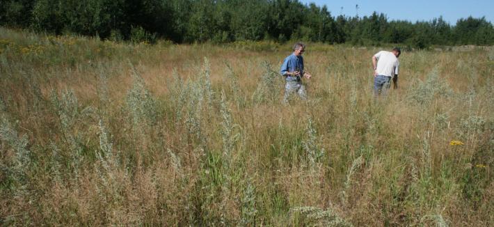 Two men walking in field with knee-high plants