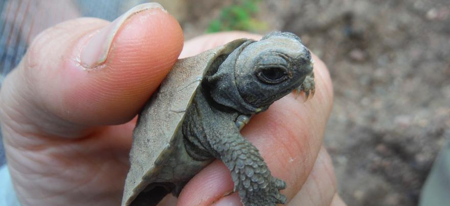 Close-up of baby turtle held by hand of researcher.