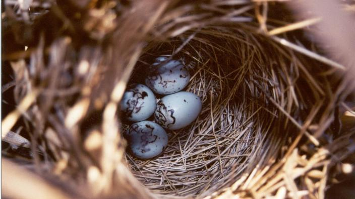 Blue bird eggs in a nest