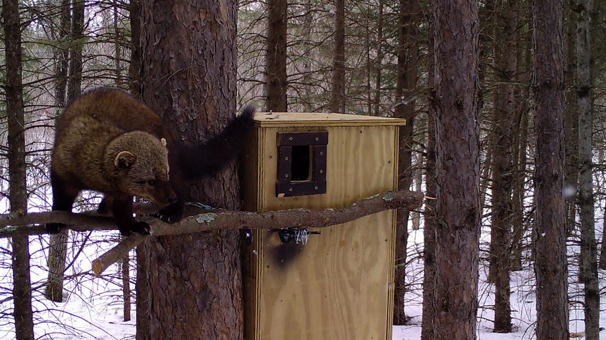 Brown furry animal perched on a stick attached to front of a den box attached to a tree.