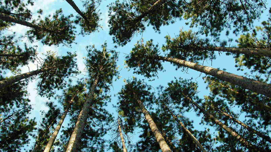 View of pine trees trees looking up from ground