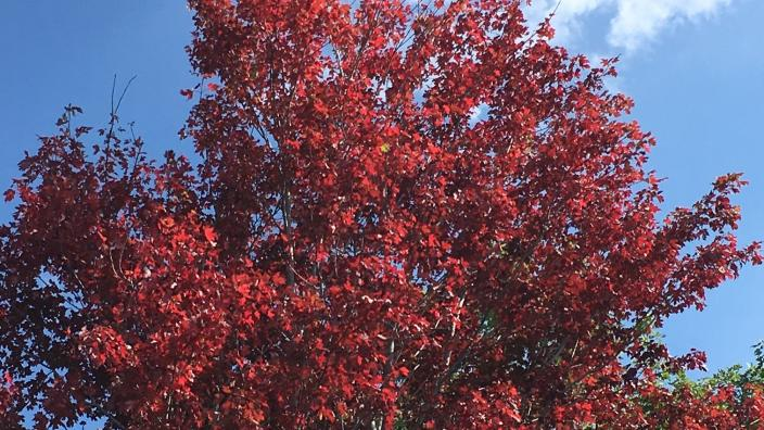 Red maple leaves on tree with blue sky and clouds in background.