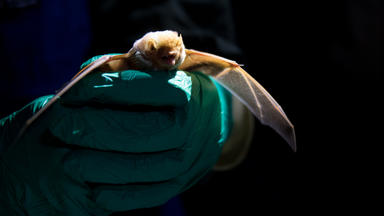 A hand in blue glove holds bat facing forward, wings extended