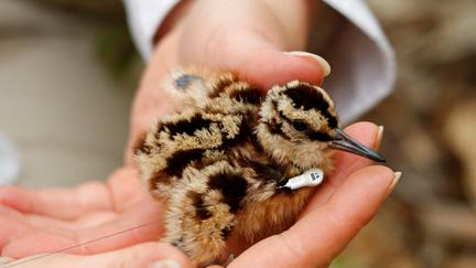 Brown speckled bird chick with tiny device on neck in two hands