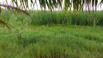 Thick stands of cattails line a river that cannot be seen through the green vegetation