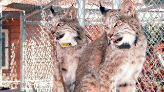 Two lynx with radio collars sit on a shelf in a cage