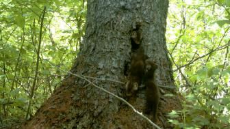 Three pine martens outside of a tree cavity.