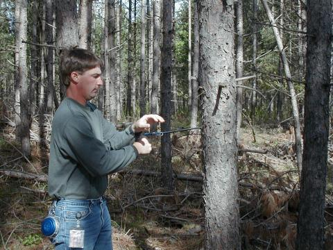 Man takes drill core sample from red pine tree trunk