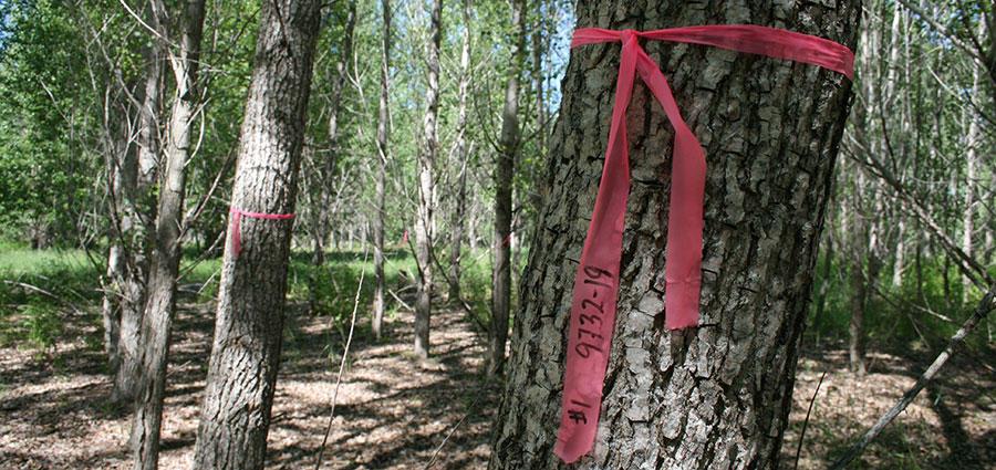 Hybrid Poplar genetic testing