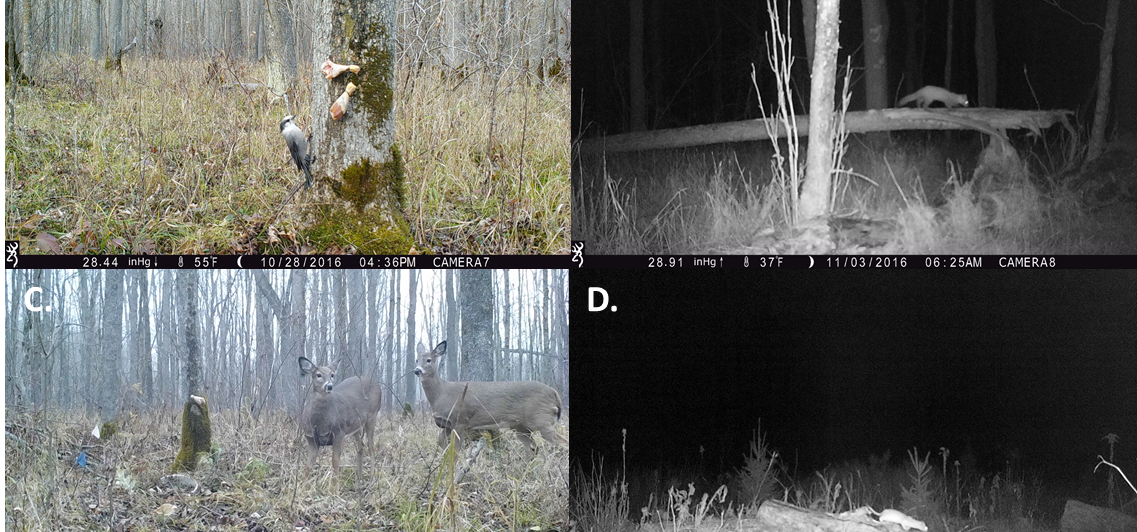 Four Trail camera images of Gray Jay, American Marten, white-tailed deer and Short-tailed weasel